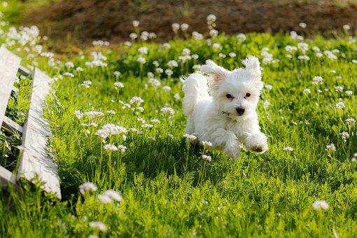 Dog, Maltese, Puppy, White, Meadow, Pet, Animal, Cute