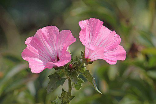 Flowers, Mallow, Flora, Garden, Nature, Pink, Plant