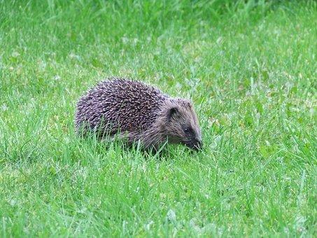 Hedgehog, Garden, Animal, Prickly, Nocturnal, Mammal