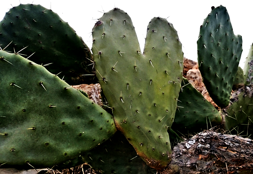 Prickly, Pear, Opuntia, Sabra, Fruit, Cactus, Plant