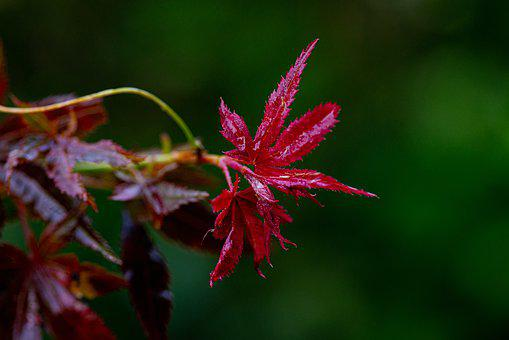 Maple, Leaves, Red, Color, Spring, Rain