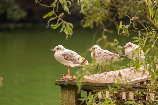 Seagull, Gulls, Bird, Birds, Lake, Wing, Sea, Flying