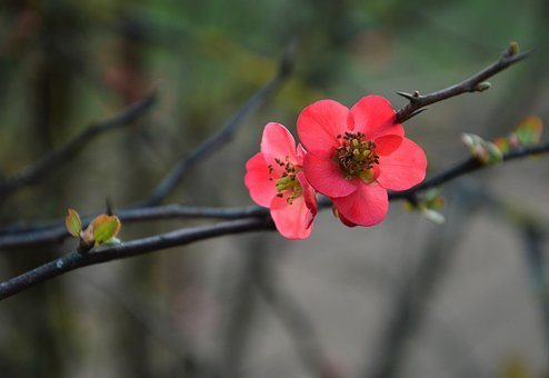Japanese Quince, Chaenomeles, Spring, Plums, Blossom