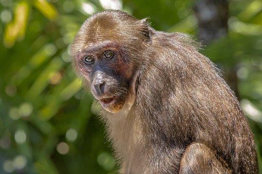 Stump-tailed Macaque, Macaca Arctoides, Animal, Monkey