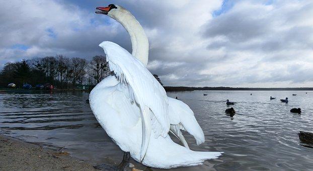 Mute Swan, Tom, Angel On The Beach