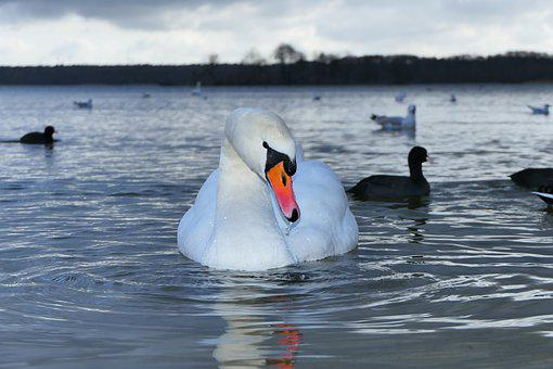 Mute Swan, Tom, Water Bird, Portrait, Charming, Beak