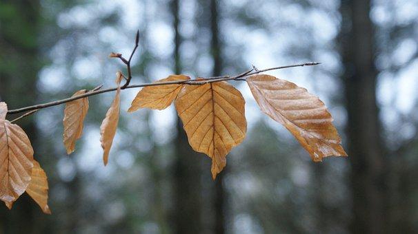 Autumn, Nature, Forest, Trees, Beech