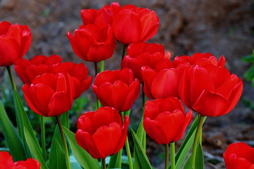 Tulips, Monochrome, Red, Tulip Field, Flowers, Spring