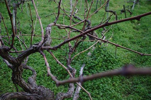 Vine, Vineyard, Grapes, Wine, Vines