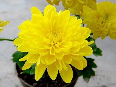 Yellow Flower, Flower, Yellow, Nature, Spring, Blossom