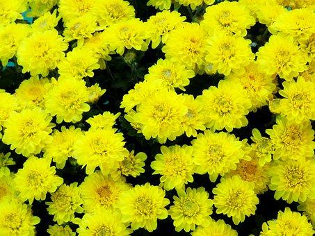 Flowers, Yellow Flowers, Chamanti Flowers, Chamanti