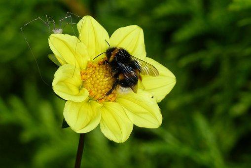 Dahlia, Flower, Garden, Yellow, Plant
