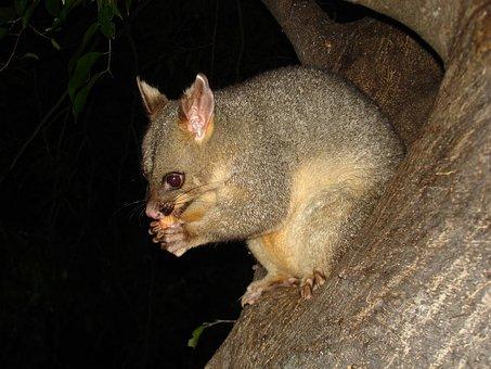 Possum, Wildlife, Marsupial, Animal, Australia