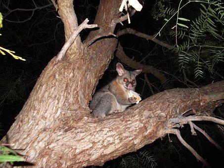 Possum, Brush Tail Possum, Australian Marsupial, Animal
