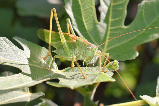 Grasshopper, Green, Animal, Insect, Close, Grille