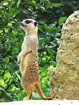 Meerkat, Upright, Stand, Cute, Sweet, Animals, Watch
