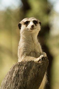 Meerkat, Wildlife, Animal, Wild, Africa, Cute, Desert
