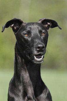Dog, Portrait, Profile, Galgo, Black, Summer, Tooth