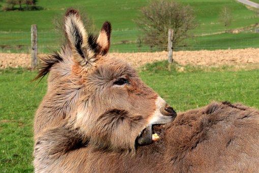 Donkey, Domestic Donkey, Equus Asinus Asinus, Animal