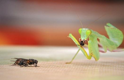 Praying Mantis, Sphodromantis Lineola, Fishing Locust