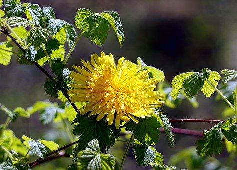 Flower, Dandelion, Spring, Foreground, Wild Flower