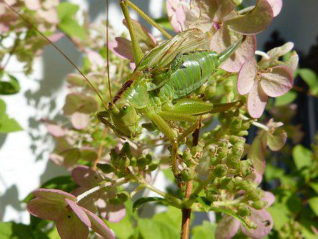 Grille, Green, Insect, Grasshopper, Close, Viridissima