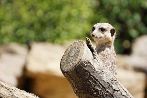 Zoo, Meerkat, Animal, Nature, Tiergarten, Portrait