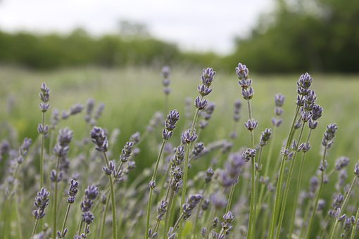 Lavender, Essential Oils, Nature, Aromatherapy, Plant