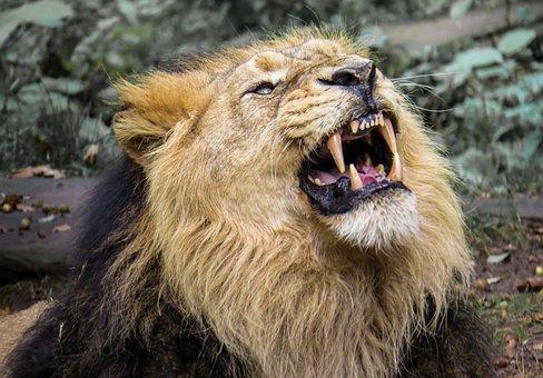 Lion, Predator, Big Cat, Roar, Zoo, Nuremberg, Close Up