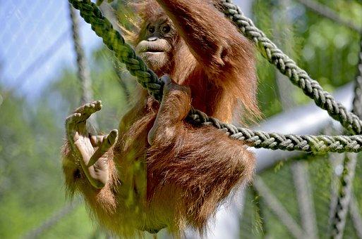 Orang Utan, Forest Human, Zoo, Climb, Young Monkey