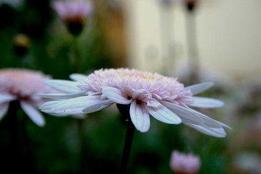 Daisy, Flower, Bloom, Pink, Upright, Open, Flat, Dainty