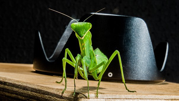 Praying Mantis, Fishing Locust, Green, Close