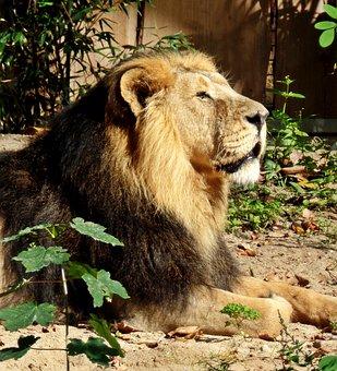Lion, Zoo, Enclosure, Predator, Cat, Animal, Mane