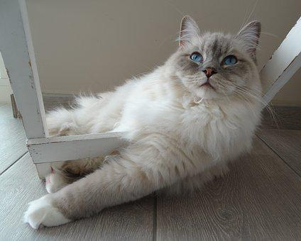 Cat, Remote Access, Ragdoll, Pet, Relax, Quiet