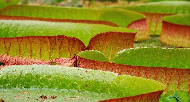 Lily Pad, Seerosen Plate, Victoria, Lake Rosengewächs