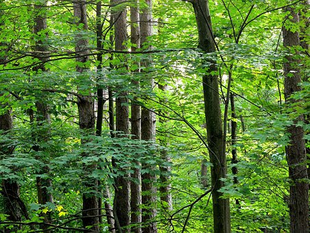 Tree, Trees, Tree Trunk, Line, Tall, Parallel, Ranks