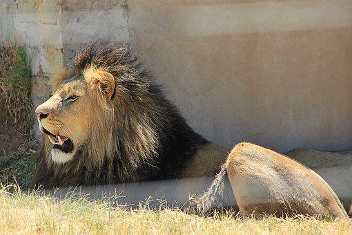 Lion, Tooth, Predator, Africa, Big Cat, Foot, Mane