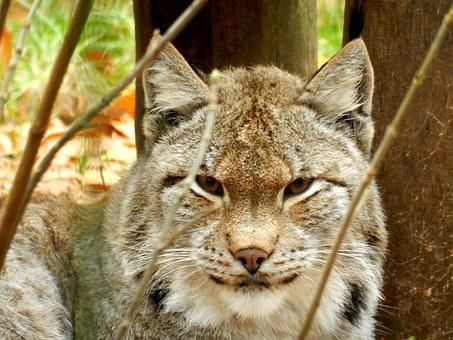 Lynx, Zoo, Wildcat, Big Cat, Cat, Attention, Felidae