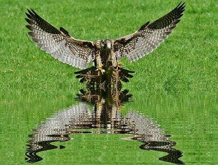 Falcon, Mirroring, Water, Wildpark Poing, Approach