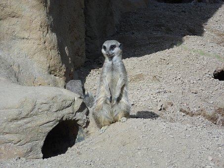 Meerkat, Animal, Mammal, Wildlife, Wild, Nature, Zoo
