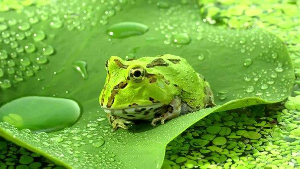 Frog, Animal, Nature, Amphibian, Green