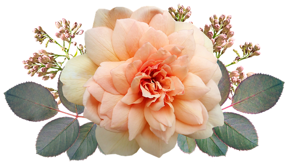 Flower, Apricot, Rose, Fragrant, Plant, Lilac, Buds