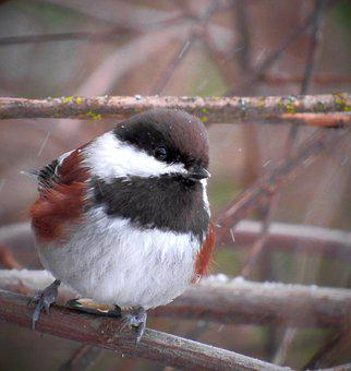 Chestnut, Backed, Chestnut-backed, Chickadee, Bird