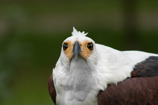 Adler, Bird, Bird Of Prey, Animal, Nature, Bill, Raptor