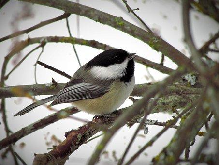 Black-capped Chickadee, Bird, Chickadee, Nature