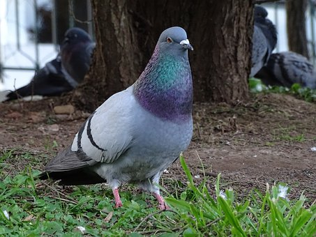 Pigeons, Domestic, Ave, Birds, Paloma, Brave, Animals