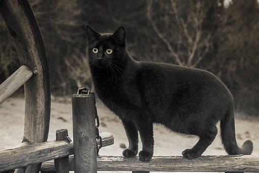 Cat, Black, Black-And-White