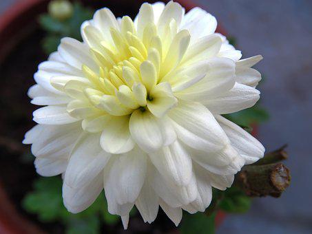Flower, White Flower, Chamanti Flower, Chamanti, Plant