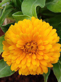 Flower, Yellow Flower, Chamanti, Chamanti Flower
