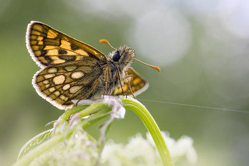 Chequered Skipper, Carterocephalus Palaemon, Butterfly